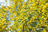 exotisch Garten Pflanze Samen Sämereien Exot Baum GELBE AKAZIE