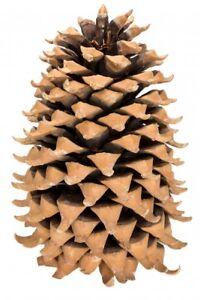 NaDeco® Kaspatu Kiefer Zapfen 20-30cm | Pinus coulteri | Coulter Pine cone | Gro