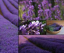 5000 bis 10000 Samen Echter Lavendel - Lavandula angustifolia - Duft - Lavender