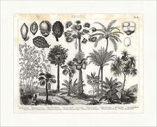 Pandanus litoralis Multiworks fruta areca triandra Brockhaus imágenes atlas botánica 14
