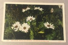 Giant Daisies YELLOWSTONE NATL PARK WY early white-border postcard Haynes Daisy
