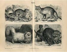 1887 Angora Cat Egyptian Cat Dwarf Cat Wild Cat Antique Engraving Print