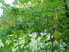 Jamaican Cerasee /Small Bitter Melon /Gourd /Karela 20 plus seeds -