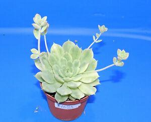 31093Echeveria sp. variegata, phyto available