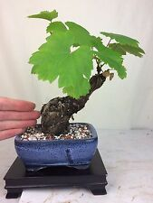 Specimen Collected Shohin Grape Bonsai Tree - Merlot - Fruiting and Flowering!
