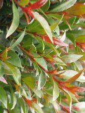 40 pz - Pianta di Eugenia Myrtifolia Siepe arredo balcone giardino vaso 7