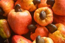3 kg Cashewkerne (1kg/15,34€) Cashew Kerne unbehandel top Qualität Nuss Nüsse