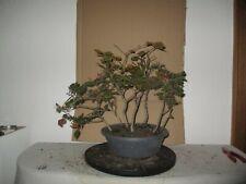 Outdoor Pre Bonsai Rotbuchen Wald 7 Bäume  Yamadori   Höhe nur Baum 43 cm