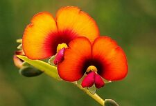 Gompholobium ovatum (Bold Beauty) x 20 seeds Ask for combined postage
