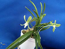 Neofinetia falcata/green flower/popularjapaneseorchid)-HISUI 翡翠