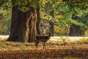 STUNNING ANIMALS DEER /STAG CANVAS PICTURE POSTER PRINT WALL ART UNFRAMED #1446