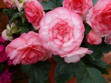 15 Pelleted Begonia Seeds Begonia Go Go Rose Gogo Series Begonia