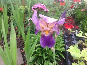 Cottage Garden Flag Bearded purple Iris Hardy Perennial Plant
