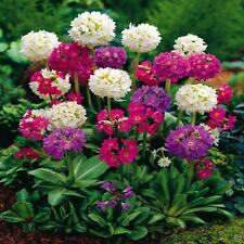 "DRUMSTIC PRIMROSE ~Mixed Colors~ ""Primula Denticulata"" 20- Perennial Seeds"