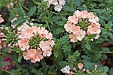 35+ VERBENA CORAL WITH EYE  PERENNIAL FLOWER SEEDS / DEER RESISTANT