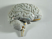 Vintage Anatomical Model Parts Repair Replacement Half Human Brain