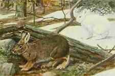 A4 Foto fuertes Agassiz 1918 diferentes liebre o raquetas de nieve Conejo impreso Poster