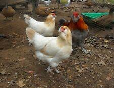 Wheaten Ameraucana Hatching Eggs 6+
