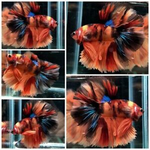 Live Fish Betta Male Premium Grade : Nemo Multicolor Halfmoon