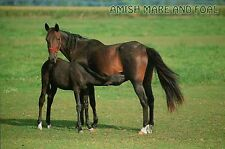 Amish Mare and Foal, Buggy Horse in the Amish Country PA IN OH - Animal Postcard
