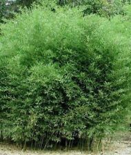 4 Bamboo Roots Grows 5' to 7' Tall Live Fence Plants or a Living Pot for Patio