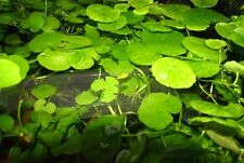 Brazilian Pennywort - Bunch Live Freshwater Aquarium Plant