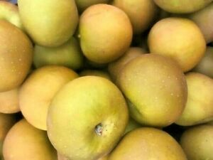 Russet Apples ready now.