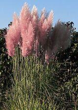 SEEDS 40 graines Herbe de la Pampa Rose (Cortaderia Selloana Rosea) SEMILLAS