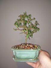 Fukien Tea Tree Bonsai. 6 inch ceramic pot. White Flowers. Beautiful shape.