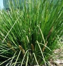 FINE N DANDY Lomandra longifolia native dcented yellow flowers plant 140mm pot
