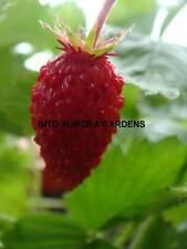 25 Italian Alpine Strawberry Seeds