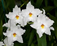 Orchid Species Odontoglossum nobile Bloom Size Fragrant