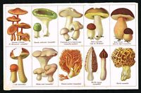 1900 Mushroom Fungi Varieties - Penny Bun, Morels, Coral - Antique Color Print