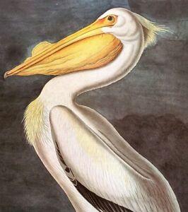 John James Audubon Birds WHITE PELICAN Original Vintage Art Book Plate Print