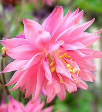 "Aquilegia vulgaris var. stellate plena ""Rose Barlow"" x 20 seeds. Combine post"