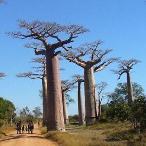 Graines / Seeds Adansonia grandidieri / Baobab (100)