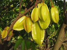 AVERRHOA carambola, Stella frutto, Rarità Tropicale, 5 semi, 5 seeds