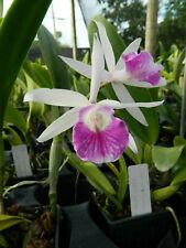 Blc Dupreana Coerulea sv 'Kodama' orchid plant (8)