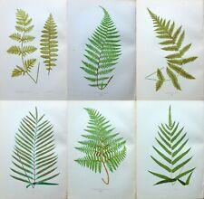 6 X LOWE Antique Fern Prints Botanical fern  ORIGINAL ANTIQUE ITEMS 1872 Lot 2