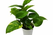 """GOLDEN PATHOS INDOOR/OUTDOOR LIVE PLANT (2 rooted cuttings, 4""""-8"""")"""