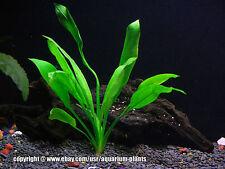 Amazon Echinodorus Bleheri | Beginner Live Tropical Fresh Water Aquarium Plants