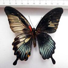 GYNANDROMORPH, Papilio lowi, Roxas, N-Palawan, Philippines, RAR!!! M9/3