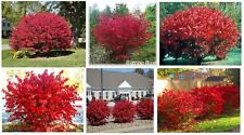 RED BURNING BUSH   GREAT FALL FOLIAGE BUSH    10 +  SEEDS