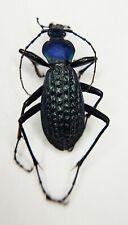 Carabidae, Carabus sp, Apotomopterus, A1, RARE, China