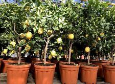 Zitronenbaum Citrus limon 140cm Busch extra! Zitrone Duftblüten
