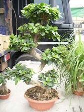 Bonsai, sehr dekorative Pflanze ca. 95 - 100 cm hoch in der Schale