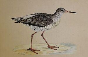 C1875 Antik Aufdruck ~ Redshank Hand Farbig Britische Vögel Morris