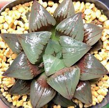 6CM Succulent Plant Red Grain Comptioniana Haworthia Liliaceae Home Garden Pot