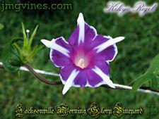 Kikyo Rigel Japanese Morning Glory 6 Seeds