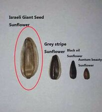 Israeli Giant Seeded Sunflower 25 seeds * Giant seeds * Edible CombSH J33